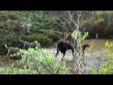 Стая волков отбила лосёнка у матери