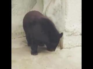 Гималайский медведь в Ташкентском зоопарке