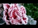 Роза на снегу.Анжелика Агурбаш