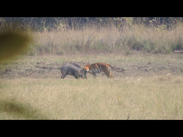 Tiger Attacks Wild Boar Tadoba National Reserve see Description for Situation