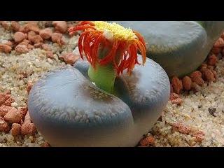 Литопсы «Живые камни», уход и разведение в домашних условиях. Самые красивые вид...