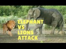 Elephant Vs Lions Attack |  Lion Attack Elephant To Death | Animal Fights Compilation 2017