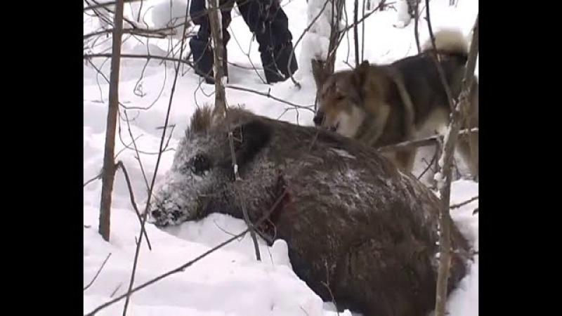 Охота на КАБАНА 0016. Как мечтать на КАБАНА, охота на кабана не без; собаками, что-нибудь нужно...