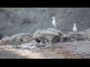 Caspian gull cuple calling