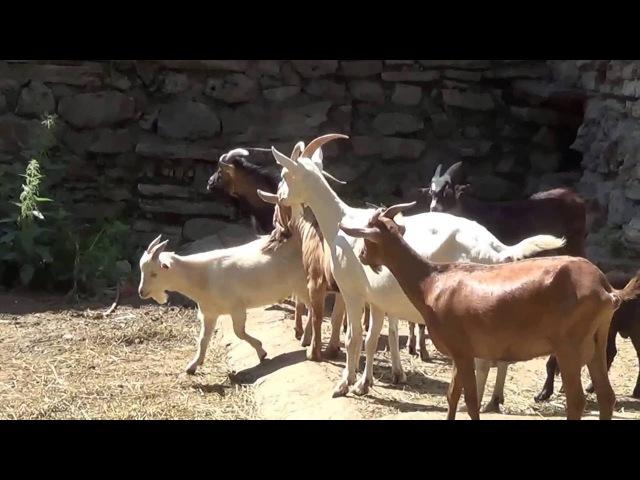 Блеяние коз