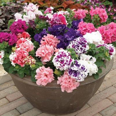 Купить однолетние цветы немецкие черенки саженцы черной розы купить в украине