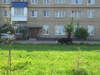 Домашний скот в городе