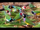 Gorgeous Gouldian Finches - my 2016 breeding stock