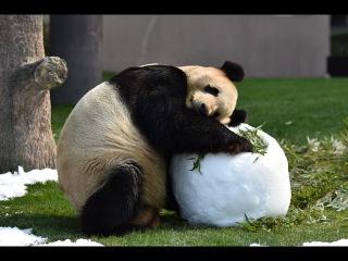 【おとうさんパンダ】🐼永明さんのバレンタイン❤2017 Giant panda -Eimei-☆Happy Valentine~❤
