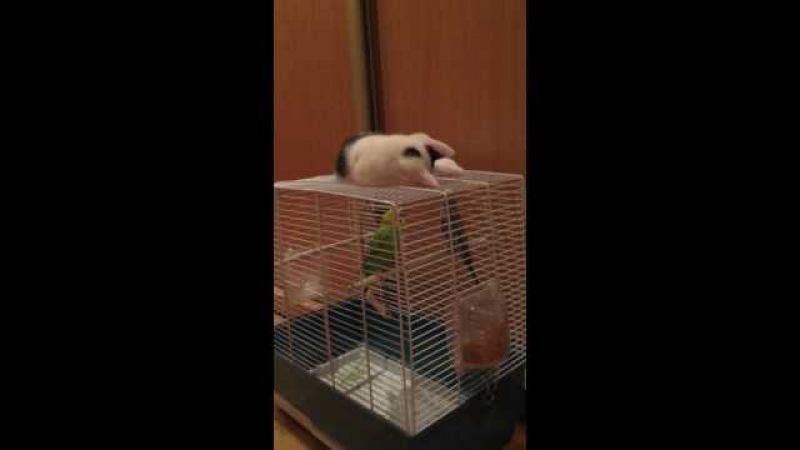 котенок гитлер играет с попугаями сдружился няшка ))