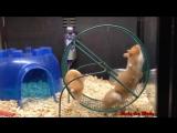 Хомяк в Колесе. Смешные Хомяки. Подборка 2016. - Funny Hamsters On Wheels 2016 Compilation.
