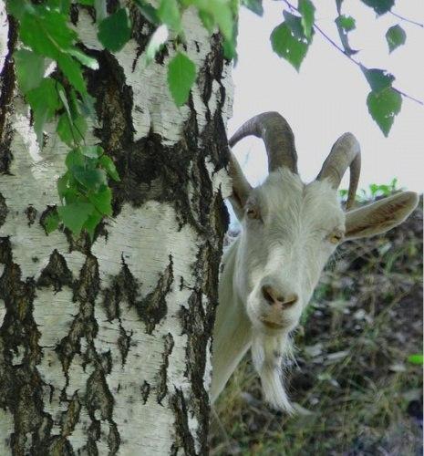 Буйный козел разогнал посетителей магазина в Северной Ирландии