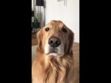 Собака не хочет лаять