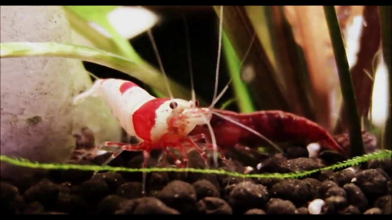 Cherry and Crystal Red Shrimp in 1080 HD - Click info below for Tips on Caring and Breeding