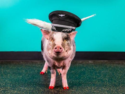 Посетителей аэропорта Сан-Франциско стала встречать свинья в юбке