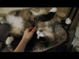 Кто сказал, что котикам не нравится когда им чешут животик?