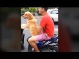 Собака за рулем скутера_Dog Drives A Motorcycle Around The City
