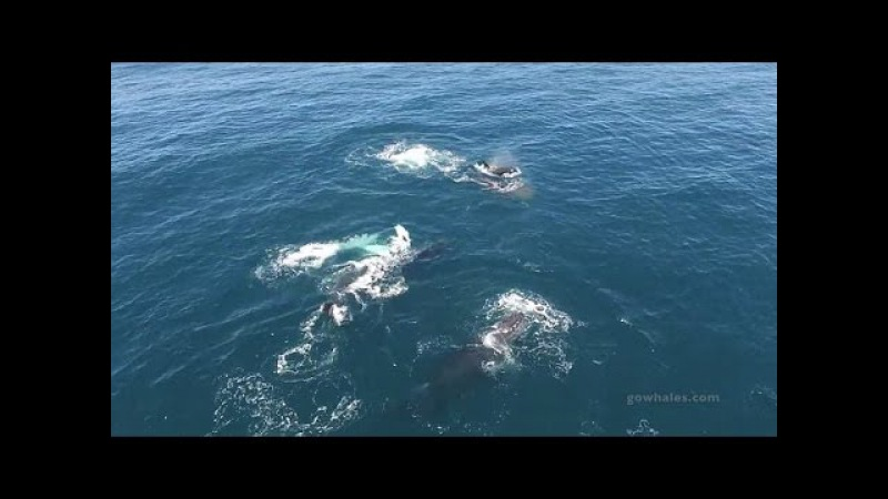 Humpbacks trying to fight off killer whale feeding frenzy