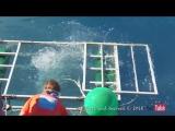 Белая акула забралась в клетку с дайвером