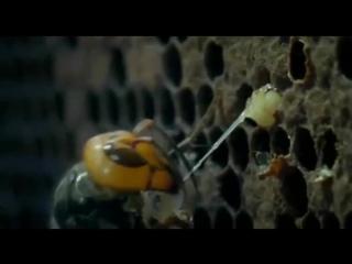 10000 пчел против 30 шершней