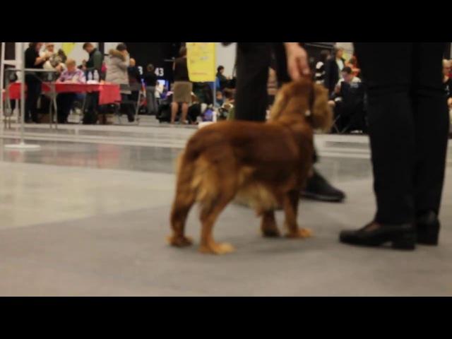 17-18.12.2016 Int Dog Show (CACIB-FCI ). Cavalier King Charles Spaniel. Natali Teodorus kennel.