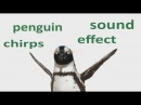 The Animal Sounds: Penguin Chirps - Sound Effect - Animation