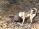 Лучшее видео про охоту на кабана. БЕЗ комментариев!
