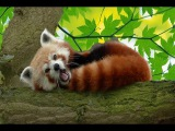 Most adorable red panda bear wrestling, feeding, eating and funny plays in zoos