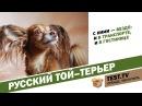 TEST: Русский той-терьер собака загадка.