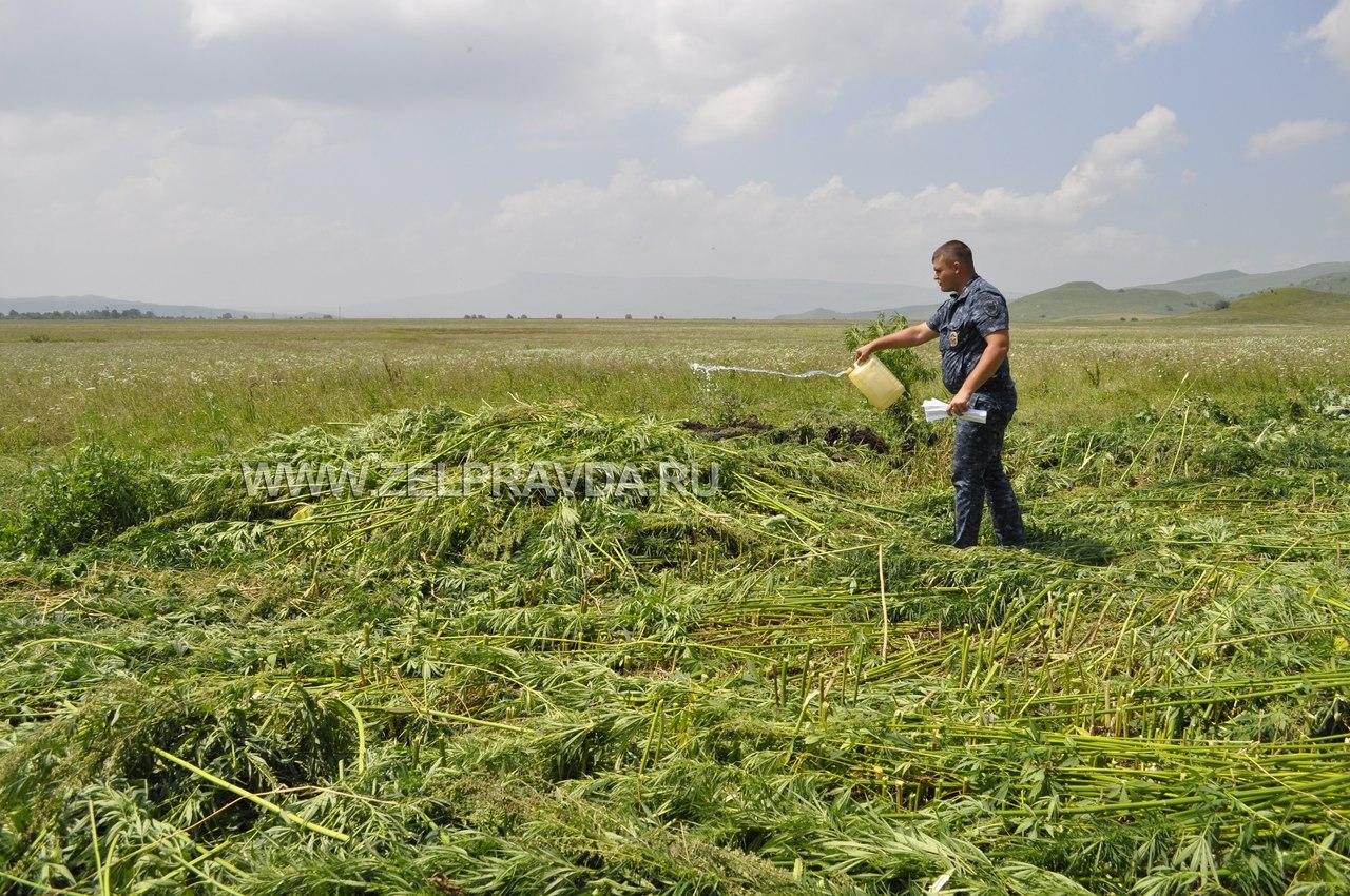 В Зеленчукском районе уничтожили более двух гектаров дикорастущей конопли