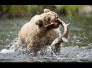 Медведи на рыбалке / Bears fishing