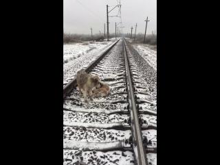 Пёс двое суток не бросал раненую подругу на железнодорожных путях 2