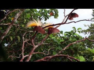 Брачный танец - Большая райская птица (Paradisaea apoda)