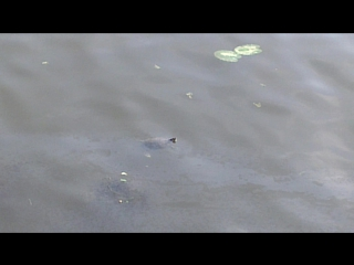 Черепашка нинзя