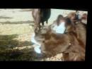 Весёлая корова