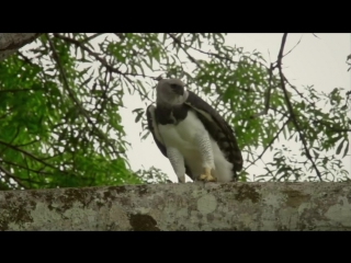 Harpy Eagles - The Most Powerful Birds - National Geographic Animals