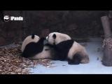Даже не пытайтесь у этой панды забрать еду