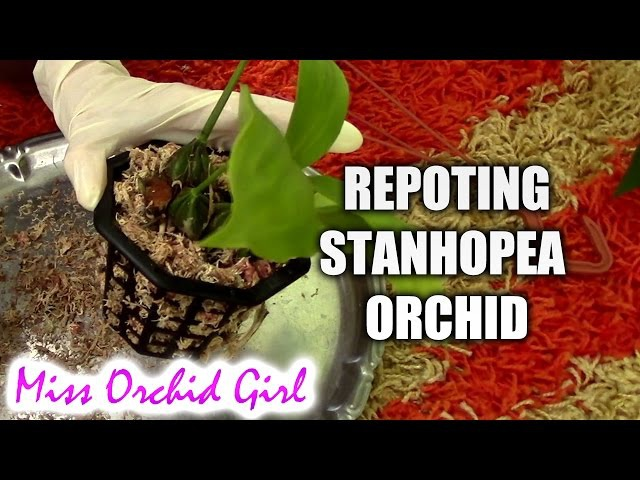 Repotting Stanhopea orchid in a basket removing rotting pseudobulb