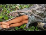 Most amazing wild animal attacks #2 - Giant Anaconda | Biggest python snake kills and swallows deer
