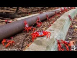 Timelapse of Millions of Red Crabs Migrate Off Christmas Island for Mating Season