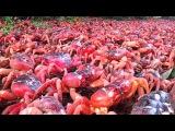 Millions of Red Crabs migration Season  Christmas Island Charm