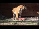 Тигр Бартек ест торт из мяса