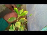 New idea for Grafting lemon plant to orange plant, January 2017
