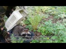 Енотовидные собаки после реабилитации в Приморском Сафари парке возвращены в природу