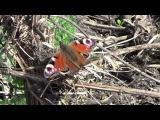 Летающая бабочка очень красивые бабочки