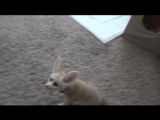 Training the Baby Fennec Fox to Sit