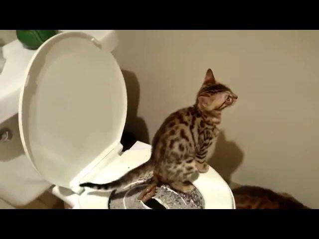 Bengal kitten started training on the toilet!