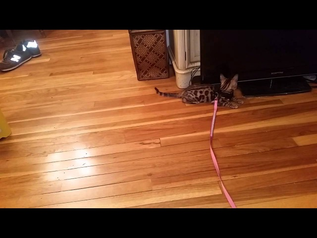 How to Harness/Leash Train Your Cat - Pt. 2 (Baby Bengal Kitten, Isis)