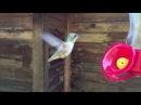Полет колибри в режиме замедленной съемки.