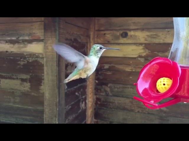 Полет колибри в режиме замедленной съемки